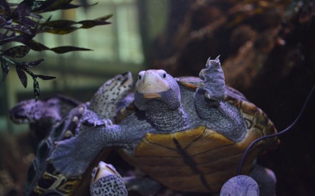 A Terrapin at Irvine Nature Cente
